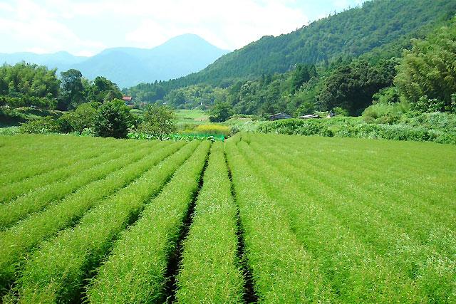 津和野町カワラケツメイ畑