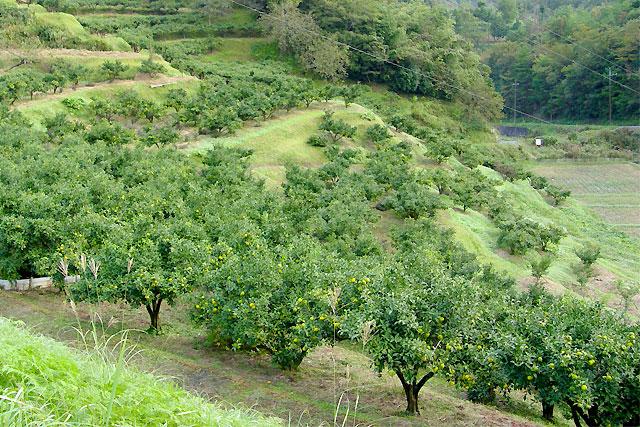 柚子の木林